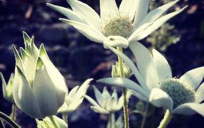 Gladness, joy and flannel flowers